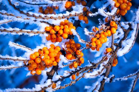 argousier: abstract frozen sea-buckthorn tree brunch Banque d'images