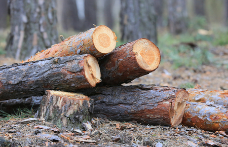 Fresh cut pine wooden logs in forest Stock Photo