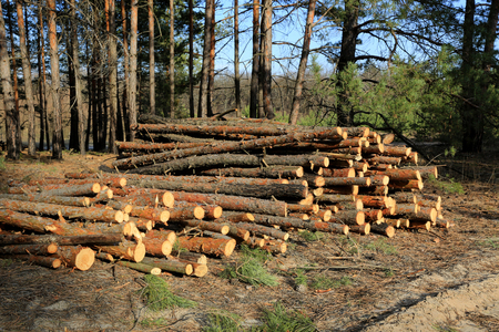scene with wooden logs in pine forest  Stock Photo