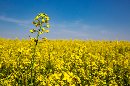 nice yellow rape on spring meadow