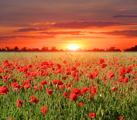 poppy meadow on susnet background Stock Photo