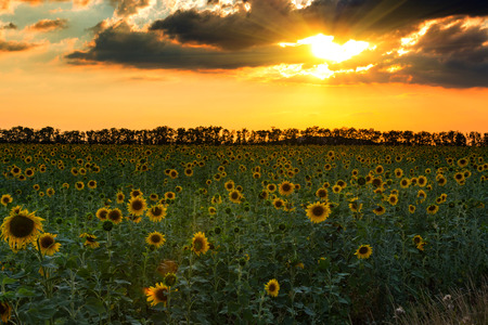beau coucher de soleil sur les champs de tournesols