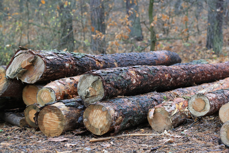 pine wooden logs in autumn forest