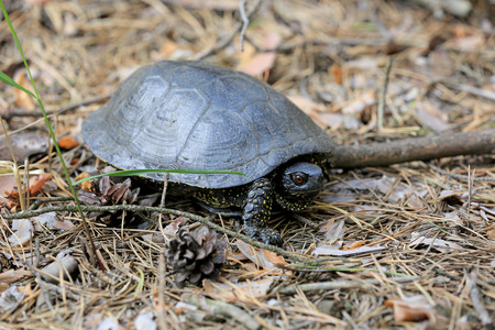 Steppe Central Asian turtle in the forest Stock Photo