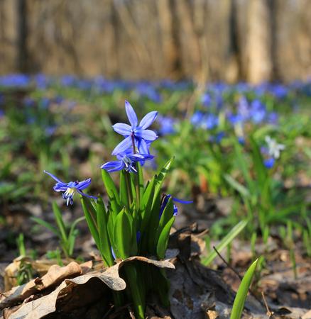 Wild spring flowers in forest - scilla bifolia