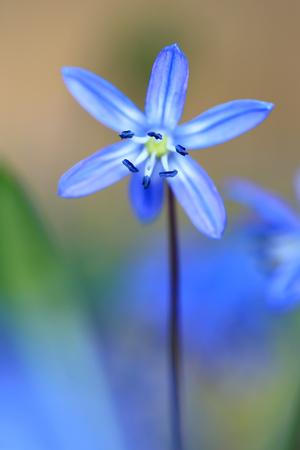 Nice spring scilla bilfolia flower