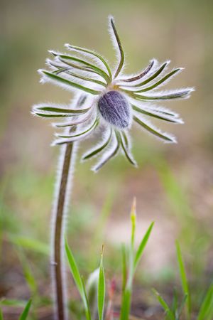 Pasque flower in spring time Stock Photo