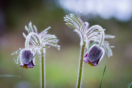 nice spring wild flowers - pasqueflower