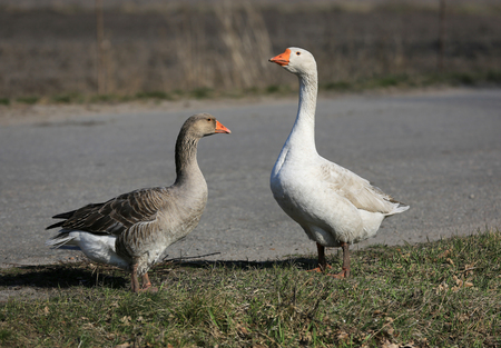 Funny gooses on rural farm meadow Stock Photo