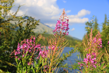 Chamerion angustifolium flowers in mountains