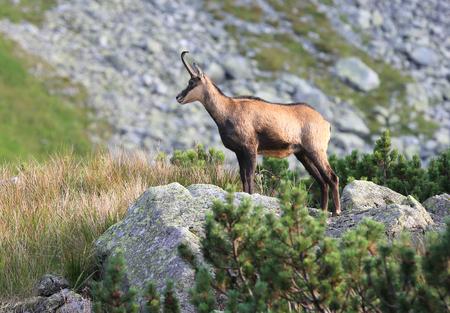 Mountain wild goat on stone