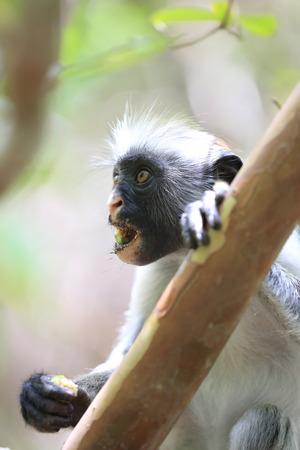 Portrait de mounkey colobe rouge sur Zanzibar Banque d'images