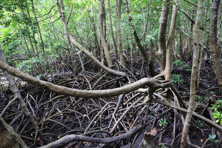 forêt de mangrove sauvage à Zanzibar Banque d'images