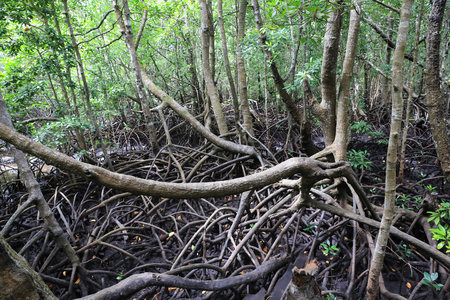 wild mangrove forest in Zanzibar Stock fotó