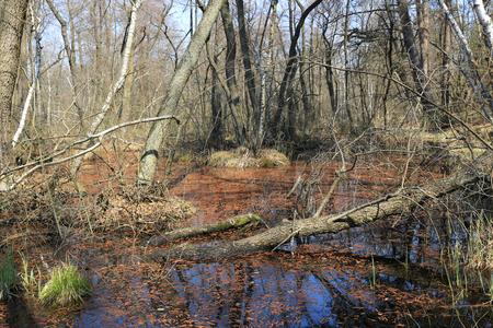 old woods on bog in spring forest