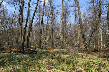 nice spring landscape with bog in forest Stock Photo