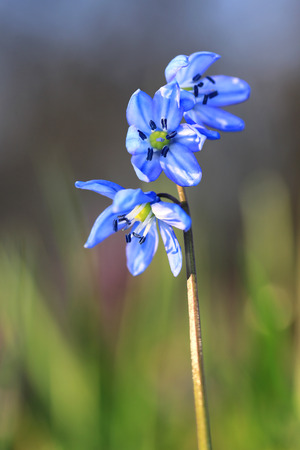 Nice spring scilla bifolia flowers Stock Photo