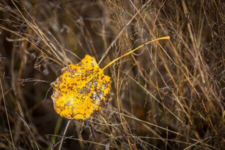 abstract alone poplar autumn leaf in dry grass 版權商用圖片