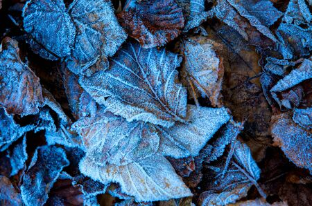 old fallen leafage in blue hoarfrost - abstract natural background