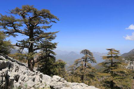 Nice cedar trees on mountain slope. Likya Yolu tourist way in Turkey