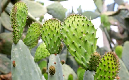 Green Cactuses with thorns in flower garden