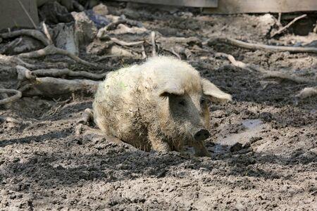 Funny pig in the mud on a farm 版權商用圖片
