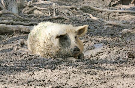 funny pig sit in mud on rural farm