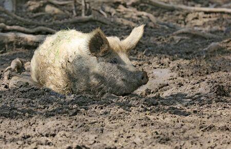 funny pig sit in mud on farm