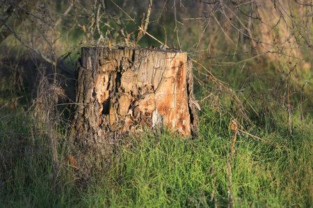 old wooden dry stump among green grass Standard-Bild