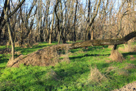 landscape with old leafless trees in forest at sunny day Standard-Bild