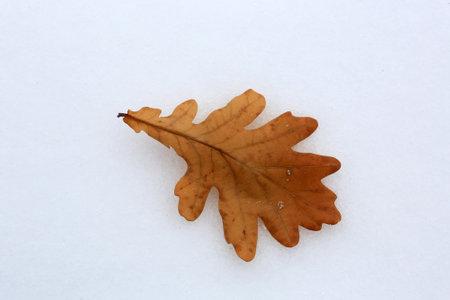 alone dry fallen oak leaf on snow surface