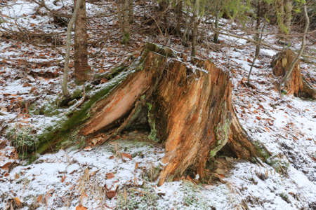 old dry wooden stump in winter forest