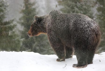 brown bear stay on snowy meadow under snowfall in winter forest