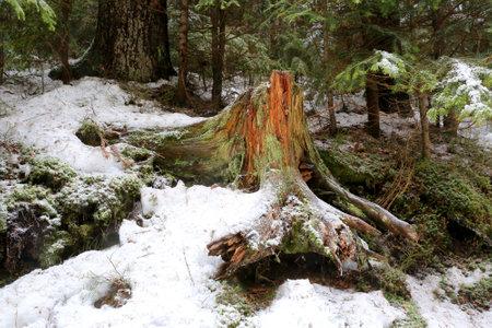 old wooden stump in winter forest Standard-Bild