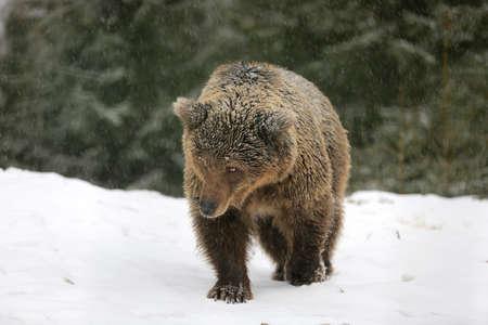 Brown bear walk on snowy meadow in winter forest