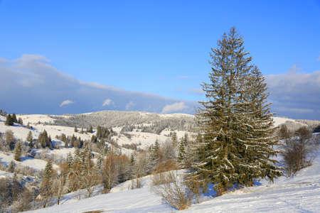 winter landscape with pine tree on mountains slope, Carpathians in Ukraine Standard-Bild