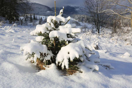 small pine tree under snow on meadow in mountains Standard-Bild - 163903909