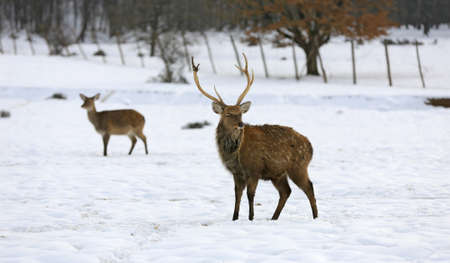 deers on snow covered pasture in park