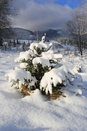 small pine tree under snow on meadow in mountains Standard-Bild - 163903973