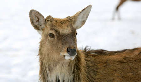 fanny closeup portrait of wild deer