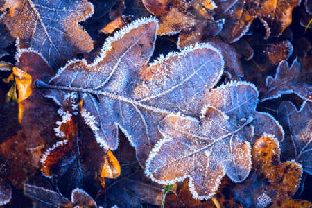 nice autumn oak leafs in hoarfrost on ground in forest