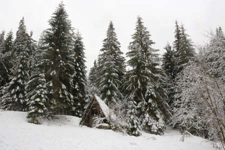 winter in pine forest. Forest shelter in a snowy meadow.