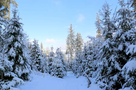 winter landscape in Carpathian mountain forest, Ukraine