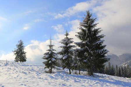 Winter landscape with pine trees on meadow in Carpathians, Ukraine Standard-Bild