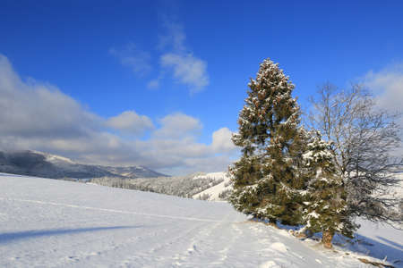 winter landscape with pine tree on mountain meadow in sunny day. Carpathians in Ukraine