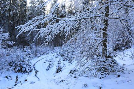 Snow covered tree in winter Carpathian forest, Ukraine Standard-Bild