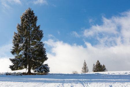 tall coniferous tree in a snowy meadow in the mountains. Carpathians in Ukraine