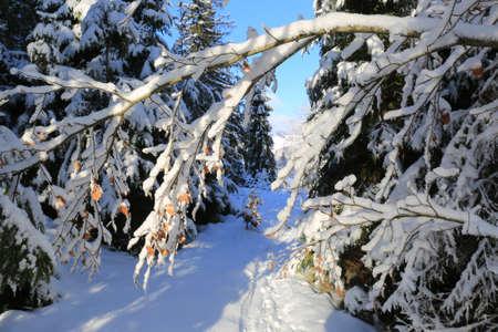 Snow covered tree brunch in Carpathian forest, Ukraine