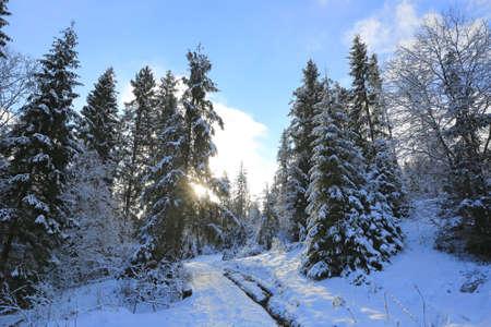 Winter landscape in mountain pine forest. Take it in Carpathian mountains in Ukraine