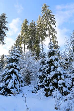 winter scene in Carpathian mountain forest in Ukraine